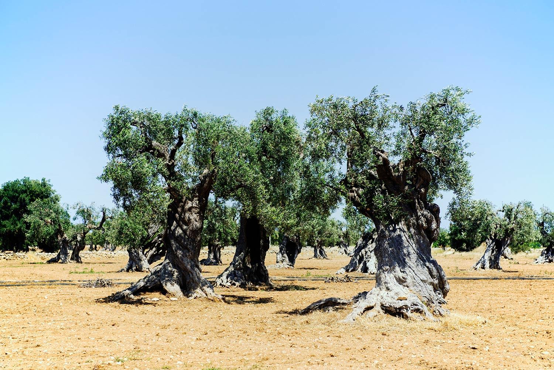 apulia-olive-grove